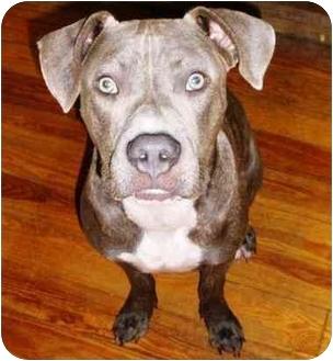 Pit Bull Terrier Mix Dog for adoption in Boca Raton, Florida - Guapo