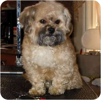 Shih Tzu/Poodle (Toy or Tea Cup) Mix Dog for adoption in Los Angeles, California - SKITTLES