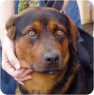 Rottweiler/German Shepherd Dog Mix Puppy for adoption in Berkeley, California - Brandy
