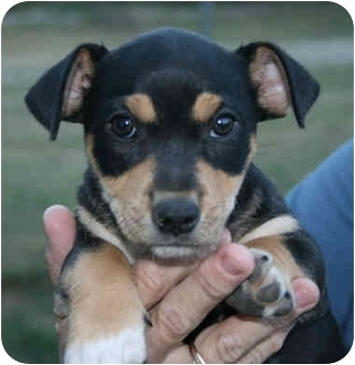 Chihuahua Mix Puppy for adoption in Portland, Maine - Bandit