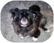 Pekingese Dog for adoption in Morriston, Florida - Fi-Fi