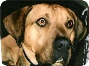 Catahoula Leopard Dog/American Bulldog Mix Dog for adoption in Roundup, Montana - Samson JJ