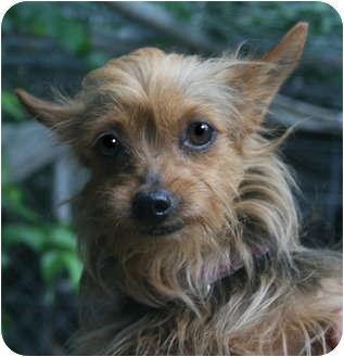Yorkie, Yorkshire Terrier Dog for adoption in Plainfield, Connecticut - Jasmine