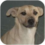 Australian Shepherd/Labrador Retriever Mix Dog for adoption in Colorado Springs, Colorado - Baby