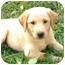 Photo 1 - Labrador Retriever Mix Puppy for adoption in Harrisonburg, Virginia - Pollyanna