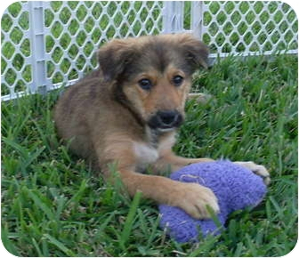 Shepherd (Unknown Type)/Spaniel (Unknown Type) Mix Puppy for adoption in West Palm Beach, Florida - CHANEL