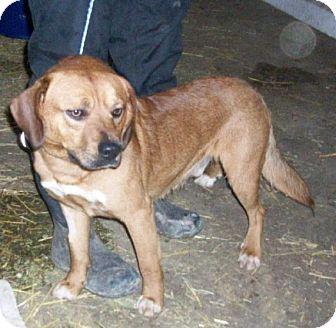Boxer/Beagle Mix Dog for adoption in Liberty Center, Ohio - Hobo