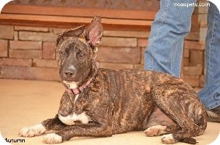 American Pit Bull Terrier/German Shepherd Dog Mix Dog for adoption in Danielsville, Georgia - Autumn