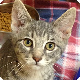 Domestic Shorthair Kitten for adoption in Weatherford, Texas - Trooper