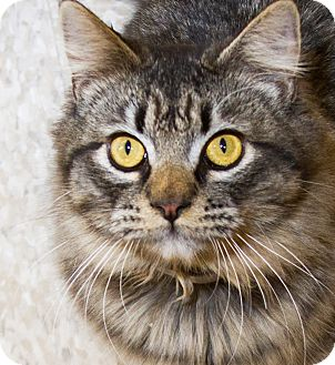 Domestic Longhair Cat for adoption in Irvine, California - Clyde