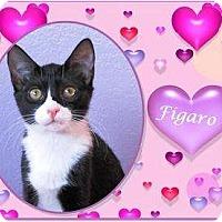 Adopt A Pet :: Figaro - Encinitas, CA