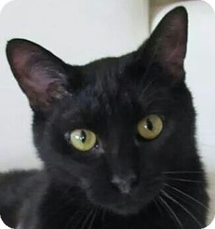 Domestic Shorthair Cat for adoption in Covington, Kentucky - Nugget