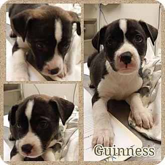 Labrador Retriever/American Pit Bull Terrier Mix Puppy for adoption in Garden City, Michigan - Guinness