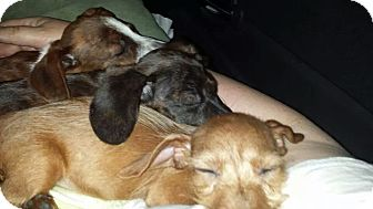 Dachshund Puppy for adoption in Andalusia, Pennsylvania - Vienna