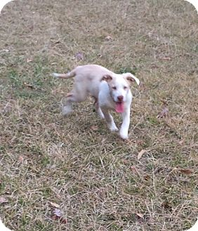 Great Pyrenees/Labrador Retriever Mix Dog for adoption in East Hartford, Connecticut - Chopper in CT