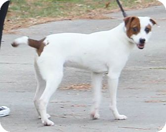 Terrier (Unknown Type, Small)/Jack Russell Terrier Mix Dog for adoption in Chapel Hill, North Carolina - Thor