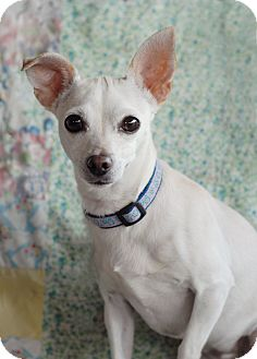 Chihuahua/Dachshund Mix Dog for adoption in Los Angeles, California - Dizzy