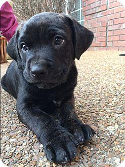 Labrador Retriever Mix Puppy for adoption in Bedminster, New Jersey - Barry