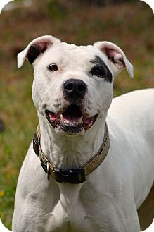 Pit Bull Terrier Mix Dog for adoption in Aiken, South Carolina - Roberta