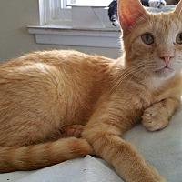 Domestic Shorthair Cat for adoption in Philadelphia, Pennsylvania - Louie
