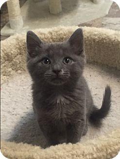 Domestic Shorthair Kitten for adoption in Hartwell, Georgia - Lovey