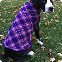 Adopt A Pet :: Rasha - North Olmsted, OH