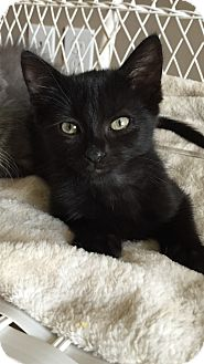 Domestic Shorthair Kitten for adoption in Des Moines, Iowa - Bruce