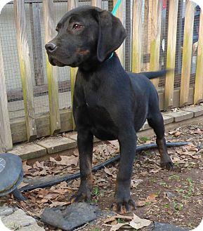 Beagle/Labrador Retriever Mix Puppy for adoption in Newburgh, New York - Bingo