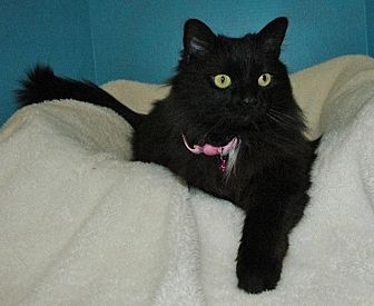 Domestic Longhair Cat for adoption in Cincinnati, Ohio - Rosebud
