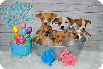 Chihuahua/Jack Russell Terrier Mix Puppy for adoption in Pittsburg, California - *Kangaroos's PUPPIES -- Litter of 6