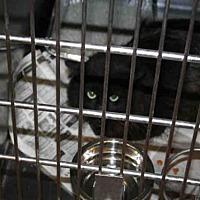 Adopt A Pet :: GEMINI - Aurora, IL