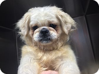 Pekingese Mix Dog for adoption in Oak Ridge, New Jersey - Holmes