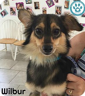 Pomeranian Mix Dog for adoption in Kimberton, Pennsylvania - Wilbur