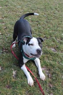 American Staffordshire Terrier Mix Dog for adoption in Hudson, New York - Benny