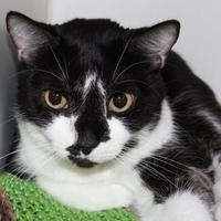 Domestic Shorthair/Domestic Shorthair Mix Cat for adoption in Venice, Florida - Uno
