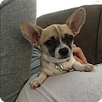 Adopt A Pet :: Bandit - Phoenix, AZ