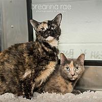Domestic Shorthair Cat for adoption in Sheboygan, Wisconsin - Pria