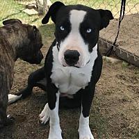 Adopt A Pet :: Bonnie Blue - Fresno, CA