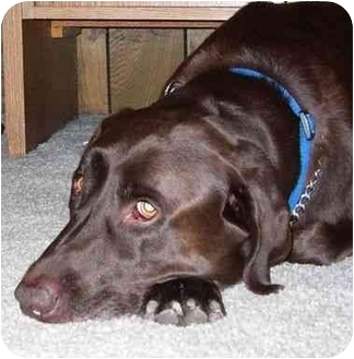 Labrador Retriever Dog for adoption in San Diego, California - S SNICKERS with Princess