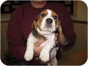 Basset Hound Puppy for adoption in Folsom, Louisiana - Charmaine