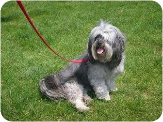 Lhasa Apso/Poodle (Miniature) Mix Dog for adoption in Algonquin, Illinois - Harley