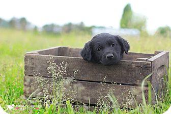 Labrador Retriever/Border Collie Mix Puppy for adoption in Seattle, Washington - Kash