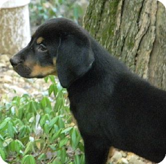 Black and Tan Coonhound Mix Puppy for adoption in Dallas, Texas - MAGGIE