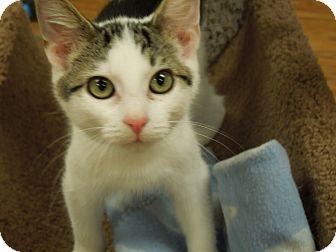 Domestic Shorthair Cat for adoption in Medina, Ohio - Jasper