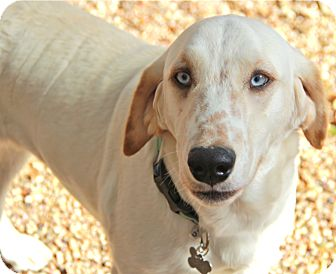 Labrador Retriever/Setter (Unknown Type) Mix Dog for adoption in Norwalk, Connecticut - Evie