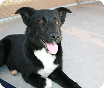 Border Collie/Labrador Retriever Mix Dog for adoption in San Antonio, Texas - Stella