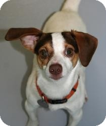 Jack Russell Terrier/Beagle Mix Dog for adoption in Muskegon, Michigan - Jazz