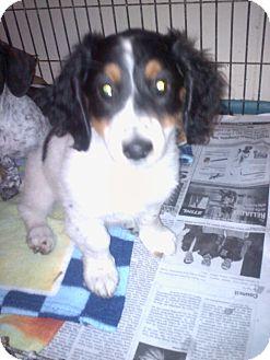 Dachshund Puppy for adoption in Hazard, Kentucky - Jack