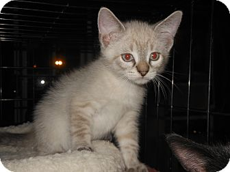 Himalayan Kitten for adoption in Whiting, Indiana - Casper