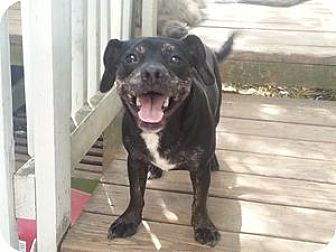 Chihuahua Mix Dog for adoption in Houston, Texas - Pablo Picasso Pico de-Gallo